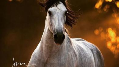 Echte Pferde Bilder Für Facebook 390x220 - Echte Pferde Bilder Für Facebook