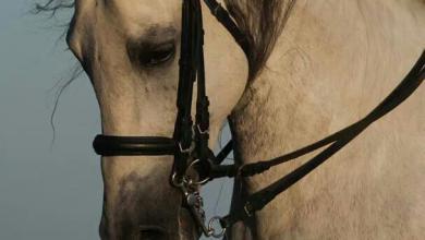 Friese Pferd Bilder Kostenlos Herunterladen 390x220 - Friese Pferd Bilder Kostenlos Herunterladen