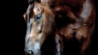 Friese Pferd Für Facebook 390x220 - Friese Pferd Für Facebook