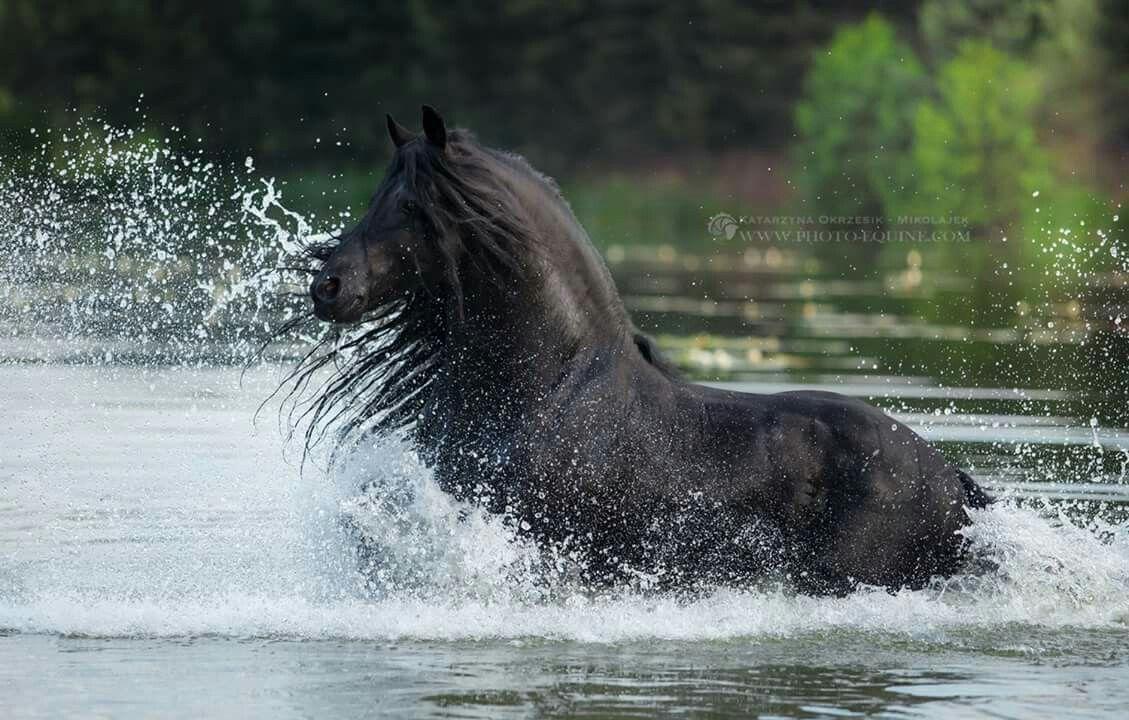 friesen bilder pferde kostenlos herunterladen  bilder und