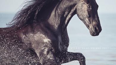 Gemalte Pferdeköpfe Für Facebook 390x220 - Gemalte Pferdeköpfe Für Facebook
