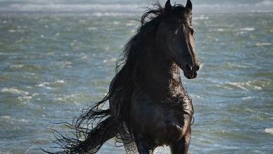 Hintergrundbilder Von Pferden 390x220 - Hintergrundbilder Von Pferden