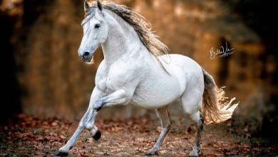 Holsteiner Pferde Bilder Für Facebook 390x220 - Holsteiner Pferde Bilder Für Facebook