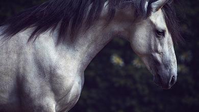 Isländer Pferde Bilder Für Facebook 390x220 - Isländer Pferde Bilder Für Facebook