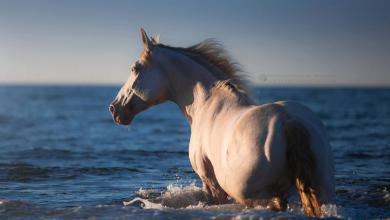 Isländer Pferde Bilder Kostenlos Herunterladen 390x220 - Isländer Pferde Bilder Kostenlos Herunterladen