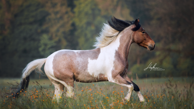 Körpersprache Pferde Bilder 390x220 - Körpersprache Pferde Bilder