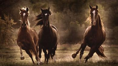Kostenlose Pferdebilder Für Facebook 390x220 - Kostenlose Pferdebilder Für Facebook