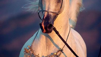 Leinwandbild Pferd Für Facebook 390x220 - Leinwandbild Pferd Für Facebook