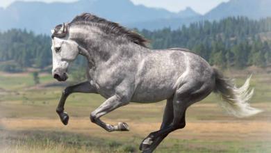 Lipizzaner Pferde Bilder 390x220 - Lipizzaner Pferde Bilder