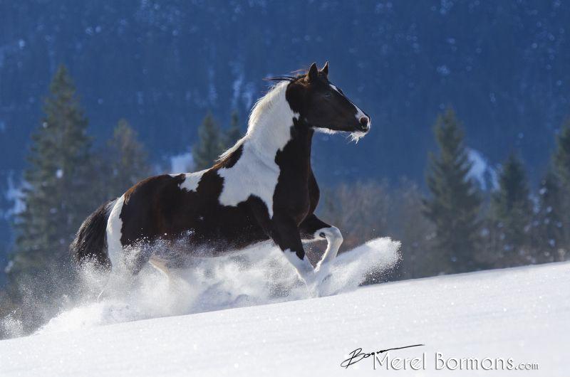 malvorlagen pferde kostenlos herunterladen  bilder und