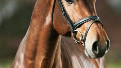 Norweger Pferde Für Facebook 390x220 - Norweger Pferde Für Facebook