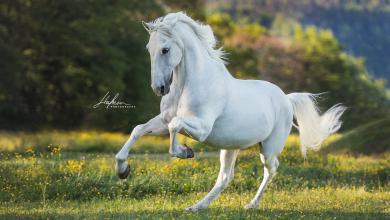 Percheron Pferde Bilder Kostenlos Herunterladen 390x220 - Percheron Pferde Bilder Kostenlos Herunterladen