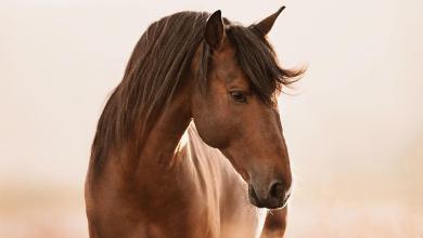Pferd Friese Für Facebook 390x220 - Pferd Friese Für Facebook