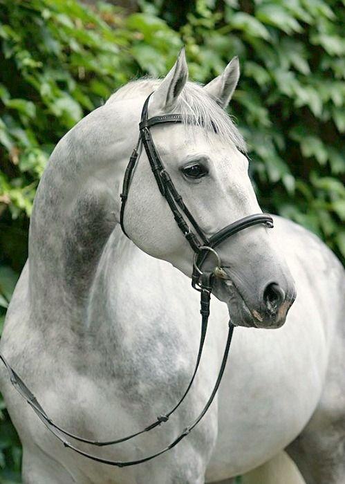 Pferde Andalusier Bilder Für Whatsapp - Pferde Andalusier Bilder Für Whatsapp