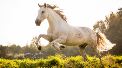 Pferde Bild Leinwand 390x220 - Pferde Bild Leinwand