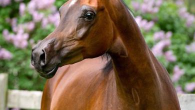 Pferde Bilder Als Hintergrund 390x220 - Pferde Bilder Als Hintergrund