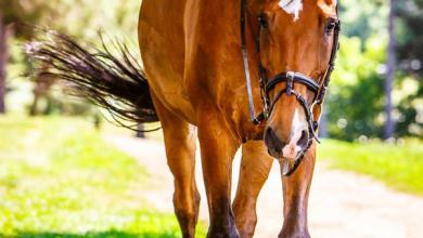 Pferde Bilder Araber 390x220 - Pferde Bilder Araber