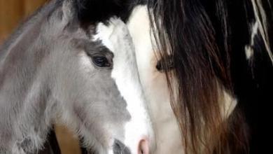 Pferde Bilder Araber Kostenlos Herunterladen 390x220 - Pferde Bilder Araber Kostenlos Herunterladen