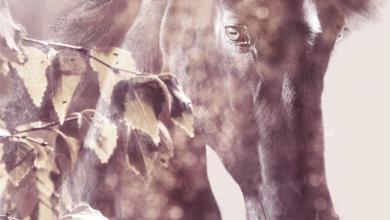 Pferde Bilder Haflinger Für Whatsapp 390x220 - Pferde Bilder Haflinger Für Whatsapp