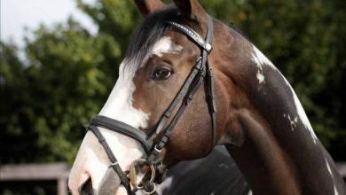 Pferde Bilder Malen Kostenlos Herunterladen 390x220 - Pferde Bilder Malen Kostenlos Herunterladen