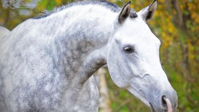 Pferde Bilder Zum Drucken Kostenlos Für Facebook 390x220 - Pferde Bilder Zum Drucken Kostenlos Für Facebook