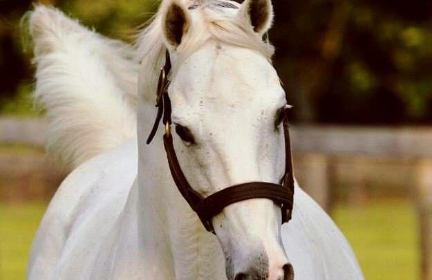 pferde friesen bilder für facebook  bilder und sprüche