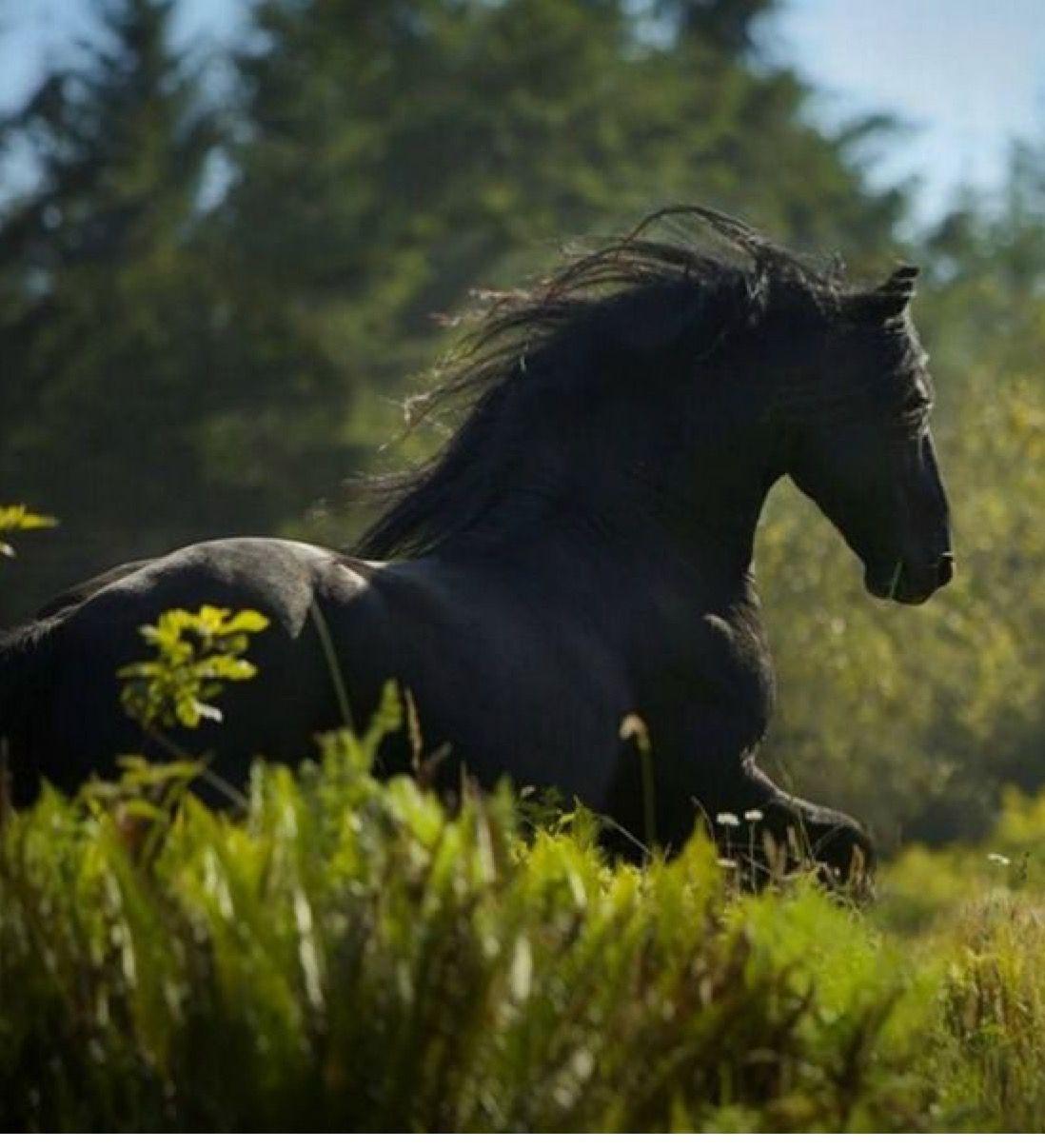 pferde friesen bilder für whatsapp  bilder und sprüche