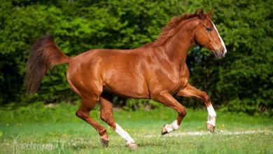 Pferde Kaltblüter Bilder Für Facebook 390x220 - Pferde Kaltblüter Bilder Für Facebook