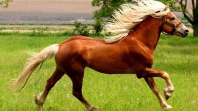 Pferde Kaltblüter Bilder Kostenlos Herunterladen 390x220 - Pferde Kaltblüter Bilder Kostenlos Herunterladen