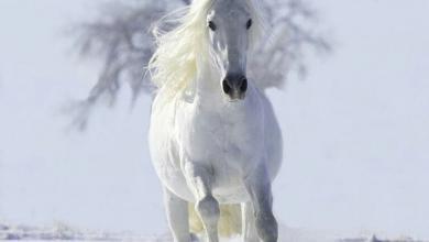 Pferde Leinwand Für Facebook 390x220 - Pferde Leinwand Für Facebook