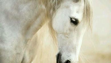 Pferde Zu Verkaufen Für Facebook 390x220 - Pferde Zu Verkaufen Für Facebook