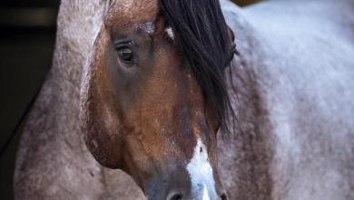 Pferde Zu Verkaufen In Niedersachsen Für Facebook 390x220 - Pferde Zu Verkaufen In Niedersachsen Für Facebook