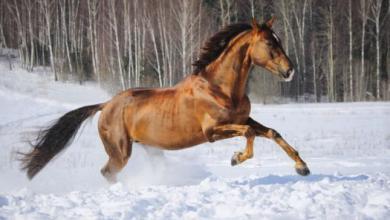 Pferdebilder Als Hintergrund Kostenlos Herunterladen 390x220 - Pferdebilder Als Hintergrund Kostenlos Herunterladen