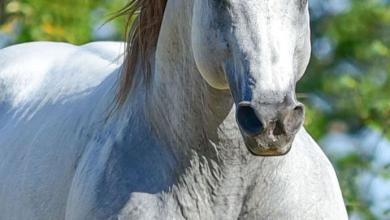 Pferdebilder Araber 390x220 - Pferdebilder Araber