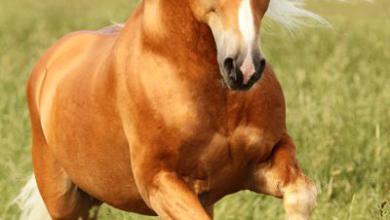 Pferderassen Fotos Für Facebook 390x220 - Pferderassen Fotos Für Facebook