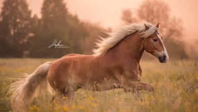 Pferderassen Fotos Kostenlos Herunterladen 390x220 - Pferderassen Fotos Kostenlos Herunterladen
