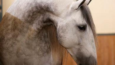 Pinto Pferd Für Facebook 390x220 - Pinto Pferd Für Facebook