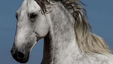 Romantische Pferdebilder 390x220 - Romantische Pferdebilder