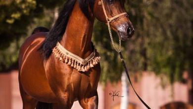 Schleich Pferde 390x220 - Schleich Pferde