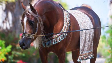 Schwarzwälder Pferde Bilder Für Facebook 390x220 - Schwarzwälder Pferde Bilder Für Facebook