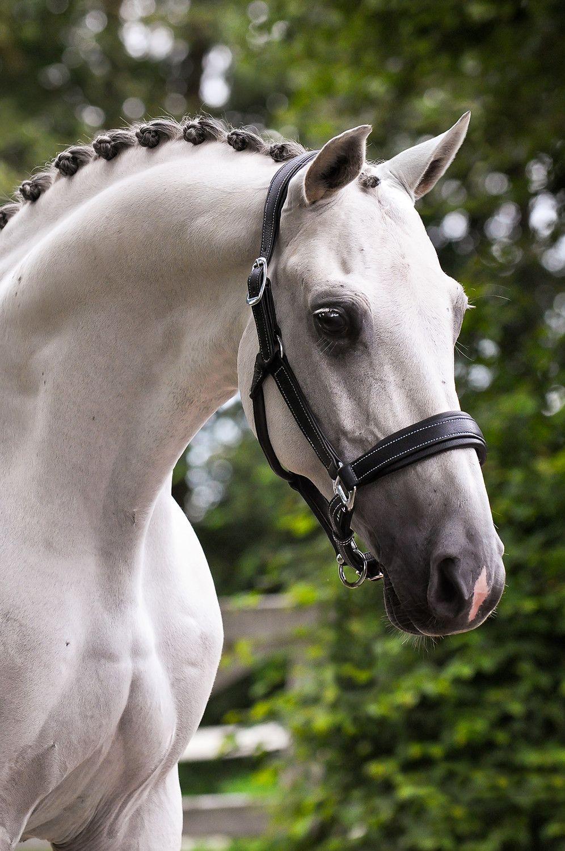 Spanische Pferde Verkauf - Spanische Pferde Verkauf