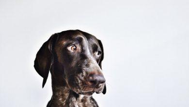 Alle Hunderassen Auf Der Welt 390x220 - Alle Hunderassen Auf Der Welt