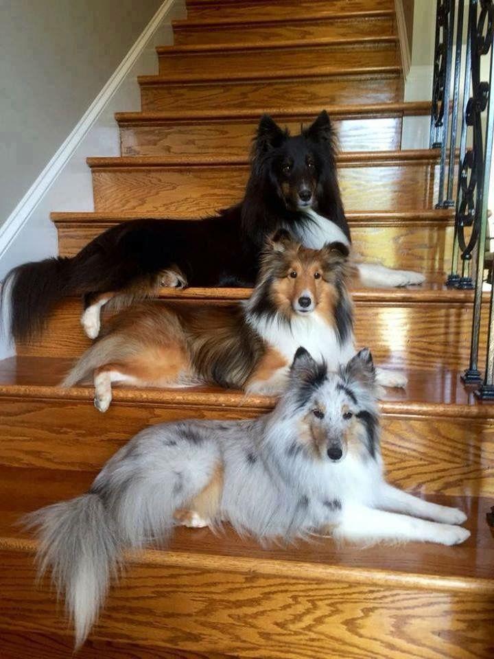 Andalusische Hund - Andalusische Hund