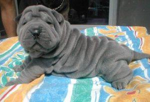 Bilder Große Hunde 300x205 - Bilder Große Hunde