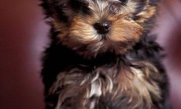 Bilder Kleine Hunde 366x220 - Bilder Kleine Hunde