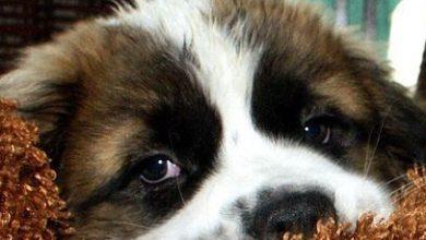 Bilder Schäferhund Kostenlos Herunterladen 390x220 - Bilder Schäferhund Kostenlos Herunterladen