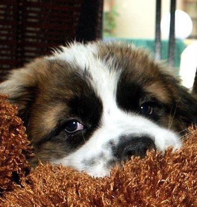 Bilder Schäferhund Kostenlos Herunterladen - Bilder Schäferhund Kostenlos Herunterladen