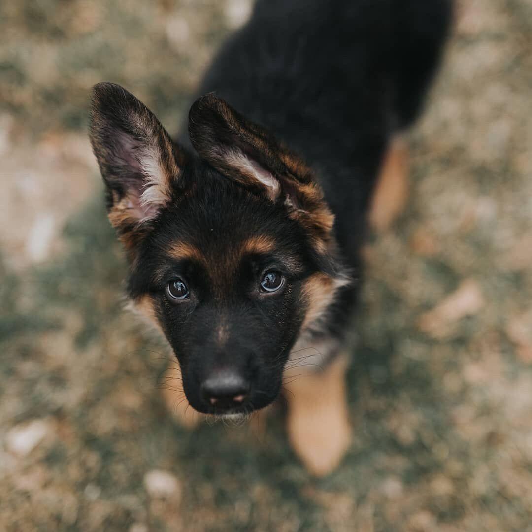 Bilder Von Hundewelpen Kostenlos - Bilder Von Hundewelpen Kostenlos