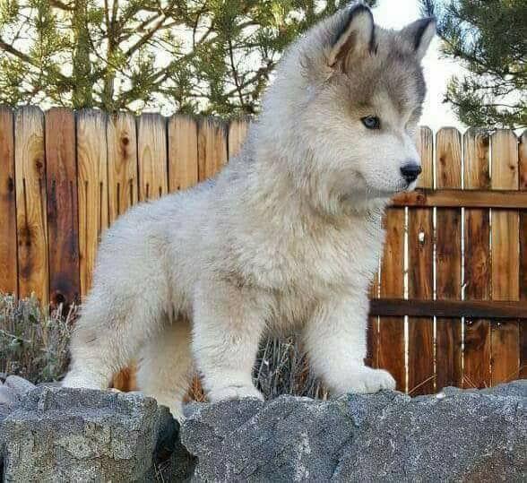 Braune Kurzhaarige Hunde - Braune Kurzhaarige Hunde
