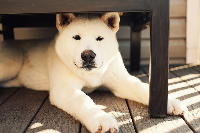 Brauner Hund Rasse - Brauner Hund Rasse